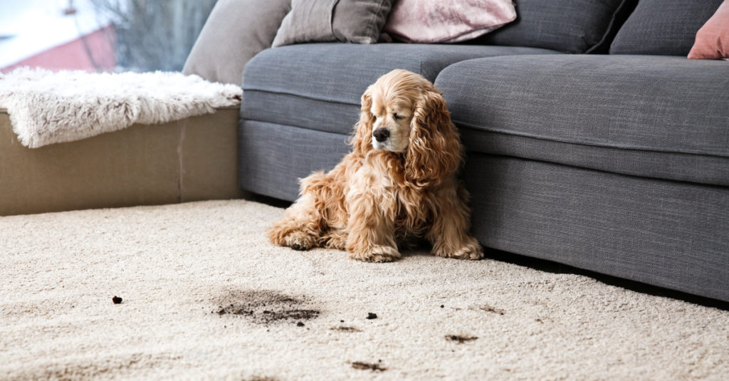 Dog leaves dirt mess on carpet as he sits across the couch